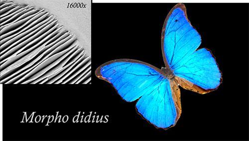 自然界のフォトニック結晶 モルフォ蝶の鱗粉にある微細構造