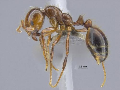 写真 ヒアリ Solenopsis invicta 台湾産大型働きアリ側面(提供 沖縄科学技術大学院大学(OIST)OKEON美ら森プロジェクト)
