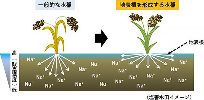 地表に根が伸びると、塩害を受けた水田でもイネが土壌の酸欠を回避できることを示す概念図(農研機構・東北大学・産総研提供)