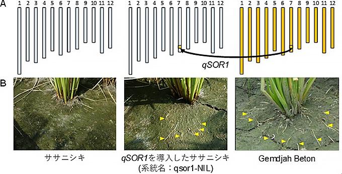 Gemdjah BetonのqSOR1遺伝子をササニシキに入れたところ、根が地表にも張るようになった(農研機構・東北大学・産総研提供)