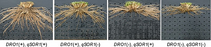 2種類の遺伝子を組み合わせた実験。両方が共に働くイネ(左)では根が最も深く伸びた(農研機構・東北大学・産総研提供)