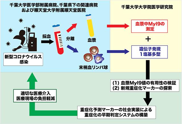 COVID-19患者の重症化を予測する臨床研究の概要(千葉大学提供)