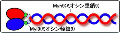 COVID-19重症化マーカーとして期待されるMyl9の模式図(千葉大学提供)