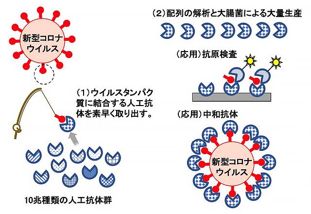 名古屋大学などの研究グループが開発した人工抗体作製過程の概念図(名古屋大学/国立病院機構名古屋医療センター提供)