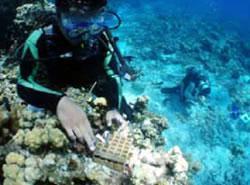 稚サンゴの移植作業