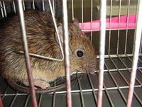 捕獲されたオキナワトゲネズミ