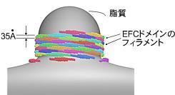 EFCドメインによる生体膜チューブ化のモデル