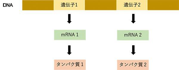 DNAに含まれる遺伝子はタンパク質の設計図だ。遺伝子1という設計図をもとにタンパク質1ができ、遺伝子2という設計図をもとにタンパク質2がつくられる