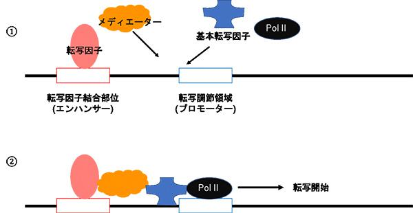 転写が行われる様子。①転写因子と呼ばれるタンパク質が転写因子結合部位と呼ばれる領域に結合して転写のスイッチを入れる。メディエーターが転写調節領域に呼び寄せられる。②基本転写因子やRNA合成装置PolⅡとも結合し、転写が開始される