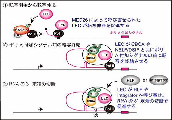 MED26によるRNAの合成(転写伸長と転写終結)の様子①MED26によってLECが呼び寄せられる。②LECがその他の転写終結させるのに必要な複合体(CBCAやNELF/DSIF)を呼び寄せてポリA付加シグナルの前に転写を終結させる。③LECはできたmRNAを切り離すために必要な複合体(HLFあるいはIntegratorと呼ばれるタンパク質)を呼び寄せ、mRNAの末端を切断する(提供・横浜市立大学、北海道大学などの研究グループ)