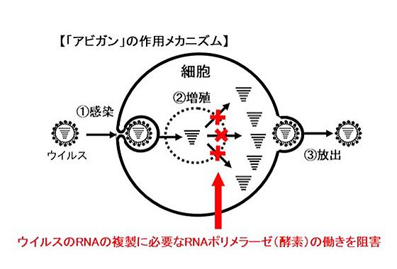 アビガンの作用メカニズム(富士フイルム提供)