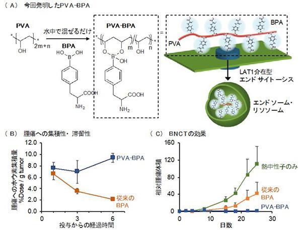 研究成果の概要:(A)合成したPVAとBPAの結合体。細胞に取り込まれ、細胞内小器官にとどまる(B)腫瘍への集積性と滞留性。結合体は単独のBPAと比べて優れた腫瘍集積性と滞留性を示した(C)BNCTの効果。結合体を用いると、ほぼ根治に近い治療効果が得られた。