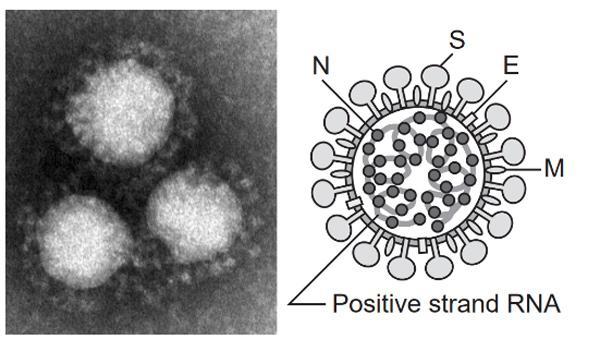 コロナウイルスの電子顕微鏡画像(左)(注:今回確認された新型肺炎の原因ウイルスの画像ではない)と模式図(右)。コロナウイルスは球形で、表面には突起が見られる。形態が王冠に似ていることからギリシャ語で王冠を意味する「corona」という名前が付けられた。脂質二重膜のエンベロープの中にNucleocapsid(N)蛋白に巻きついたプラス鎖の一本鎖RNAのゲノムがあり、エンベロープ表面にはSpike(S)蛋白、Envelope(E)蛋白、Membrane(M)蛋白が配置されている(説明と画像提供・国立感染症研究所)