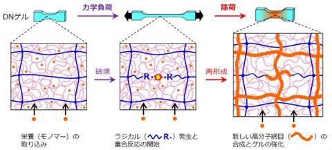 モノマーを取り込んだゲルに力学負荷を加えると、新しい高分子網目が生じ、強度等が大きく増大する(図の説明と提供は北海道大学の研究グループ)