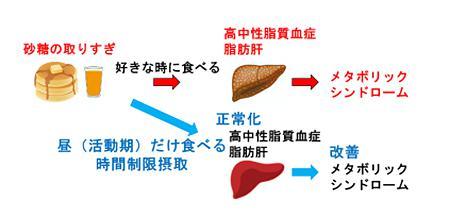 図1 砂糖の摂取時間とメタボリックシンドロームとの関係を示す概念図(提供・名古屋大学の研究グループ)
