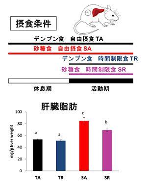 図2 砂糖の摂取時間による肝臓内の脂肪量の差。下の棒グラフの赤は時間に関係なく与えられたグループ。紫は活動時間帯の夜だけに与えられたグループ(提供・名古屋大学の研究グループ)