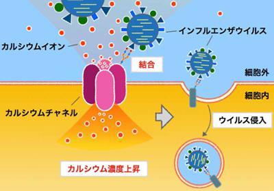 画像 インフルエンザウイルスが細胞に感染する基本的な仕組み(提供・北海道大学)