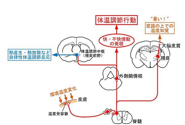 図 温度を感じて脳に伝える神経回路と体温調節行動に必要な神経回路の概念図。皮膚で感知した温度情報は脊髄に入力され、この情報が外側腕傍核を経た経路を通じて快適、不快などの「温度情動」に関わる脳領域に伝達される。そこで「不快情動」が生まれると快適な温度環境を求める体温調節行動が起こると考えられるという(提供・名古屋大学/名古屋大学の研究グループ)