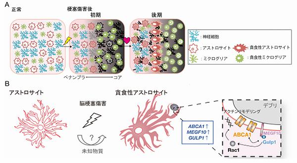 A. 脳梗塞傷害によりコア(脳梗塞中心部分)で多数の細胞死が生じると、まずミクログリアが検知して、集積し、死細胞などを多数貪食する。ミクログリアに遅れてアストロサイトも活性化状態へと変化し、貪食性を亢進させる。ミクログリアは傷害の初期にコアで、アストロサイトは傷害の後期にペナンブラ(血流が低下し細胞死を免れている部分)で貪食性を亢進させていた。 B. 脳梗塞傷害後、未知の物質によって、アストロサイトで ABCA1 の発現亢進が誘導され、貪食性を獲得する。ABCA1は(分子の)MEGF10、GULP1と共役してデブリを細胞内へと取り込む。研究の模式図(山梨大学など共同研究グループ作成・提供)