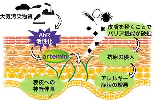 図 AhR活性化によるアレルギー皮膚炎発症、悪化の仕組み(東北大学研究グループ作成、東北大学提供)