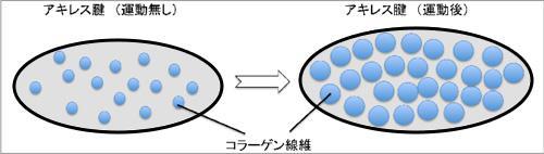 図2 運動したマウスと運動しなかったマウスのアキレス腱コラーゲン線維量の違いの模式図