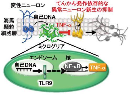 てんかん発作後にミクログリアで起きる免疫反応の概略