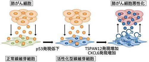 がんと線維芽細胞の相互作用による肺がん細胞の悪性化