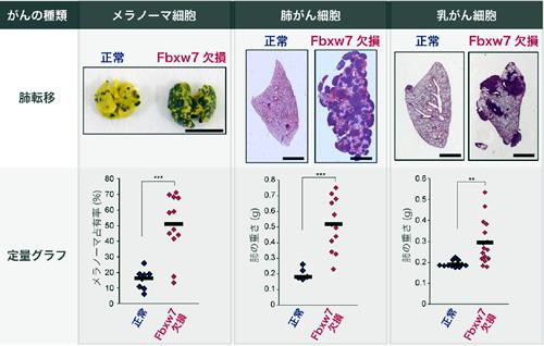 Fbxw7欠損マウスは各種のがんの転移が起こりやすい