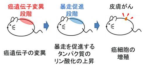 2段階で起きる皮膚がんの概略