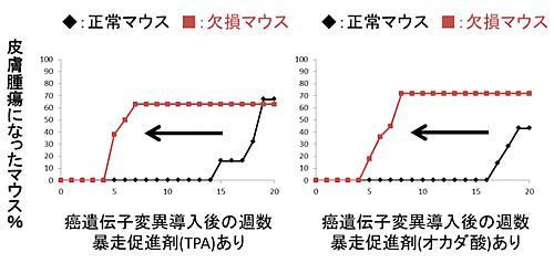脱リン酸化酵素PP6を欠損したマウスは正常マウスより皮膚がんが早くできる