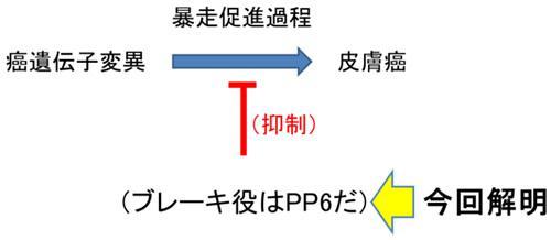 今回解明された脱リン酸化酵素PP6のがん抑制の仕組み