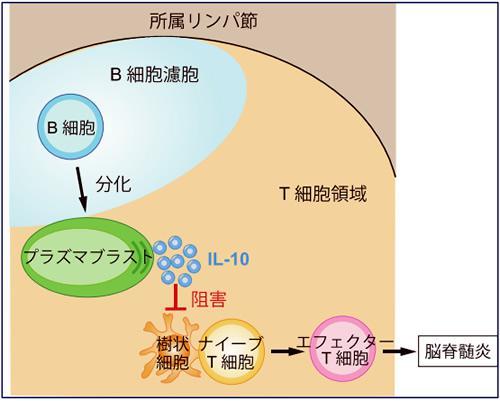 B細胞系のプラズマブラストがIL-10を分泌して脳脊髄炎を抑制する仕組み