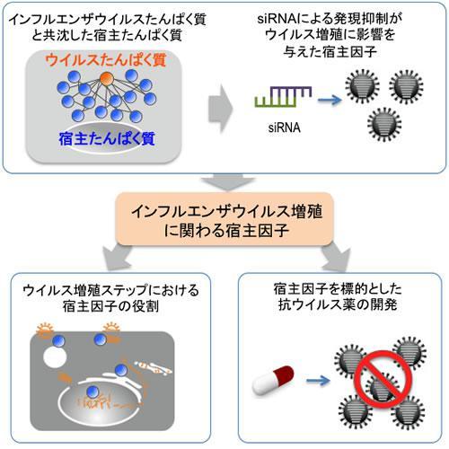 インフルエンザウイルス増殖に関係する宿主因子の研究の概要