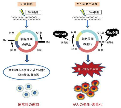 DNA損傷下の細胞周期の制御。左は正常細胞、右はRad54Bの発現が高まって細胞周期が進み、がんが発生、悪性化する場合