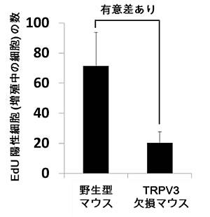 マウス口腔粘膜で増殖している細胞の数がTRPV3欠損マウスでは少ない