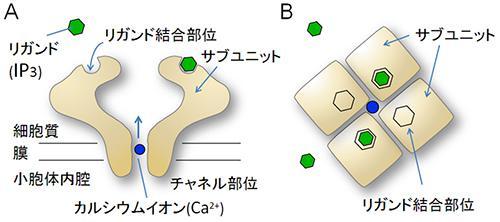 IP3受容体の模式図、中央に小胞からのカルシウムイオンの放出口がある