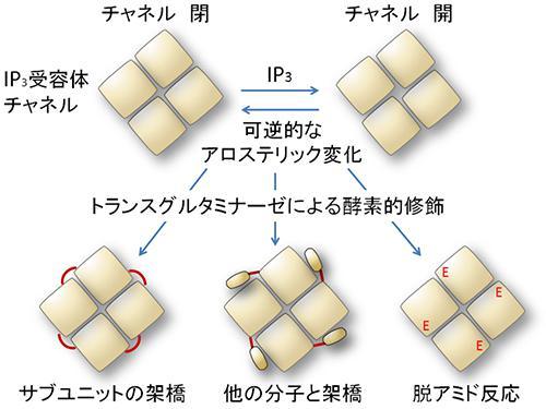トランスグルタミナーゼによるIP3受容体チャネルの立体構造変化の仕組み