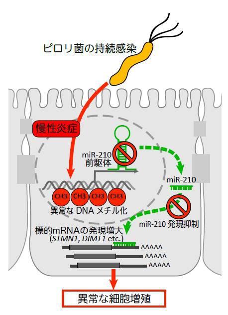 ピロリ菌の感染によって、マイクロRNA210の発現が減少し、それによって異常な細胞増殖が引き起こされてがん化する模式図