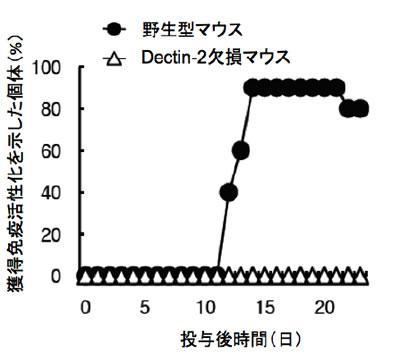 デクチン2を欠損したマウスでは野生型マウスと対照的に、LAMによる獲得免疫活性化が起きないことを示すデータ