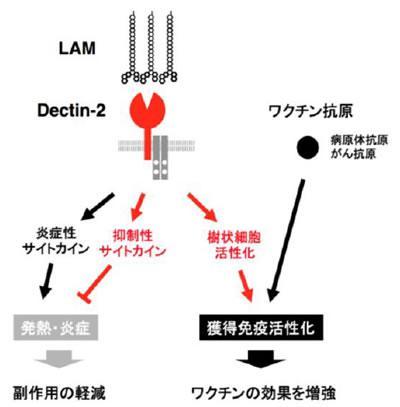 LAM-デクチン2を介する免疫活性化の仕組みと期待される効果