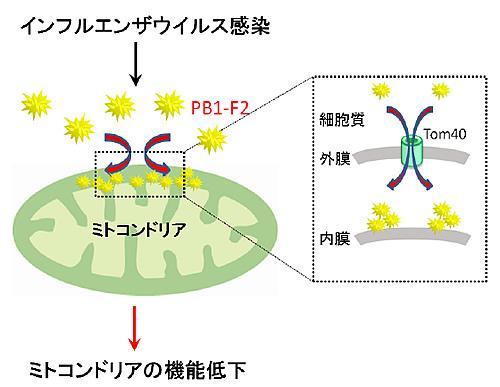 インフルエンザウイルスのタンパク質PB1-F2がミトコンドリアに浸入してその機能低下を起こす仕組み