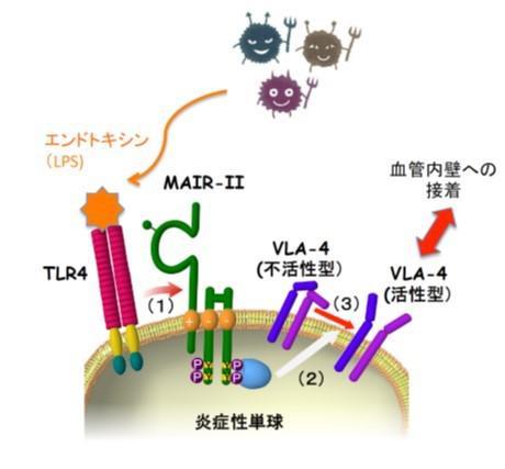 細菌感染に対して炎症性単球の細胞膜で起きる変化
