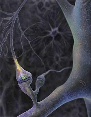 写真. 神経細胞のシナプスとスパイン。上がコモンマーモセット神経細胞の樹状突起スパインの蛍光顕微鏡写真、下が概念図