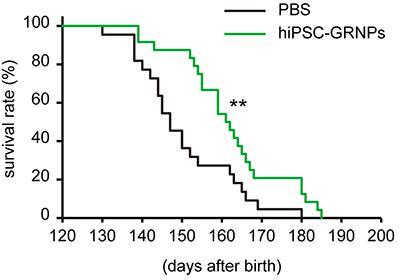 iPS細胞由来のグリア系神経前駆細胞の移植(緑の線)による生存期間の延長。黒い線が細胞移植をしていないALSモデルマウス