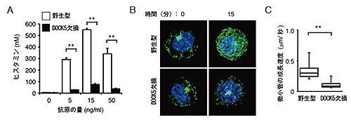 DOCK5はマスト細胞の微小管の動きを活性化して脱顆粒反応を促す