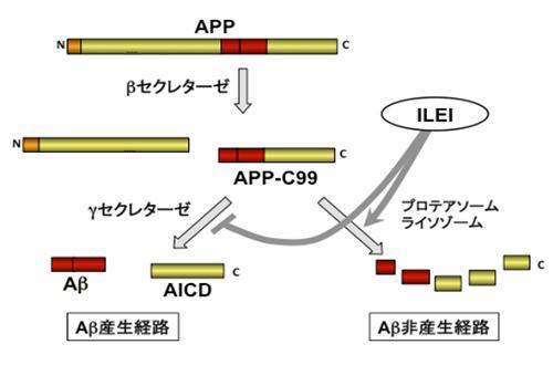 アルツハイマー病の原因となるAβの代謝経路と、新しいタンパク質ILEIの作用