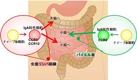 図. 虫垂リンパ組織の役割