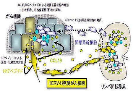 内因性レトロウイルスのHERV-Hががん転移を促す仕組み