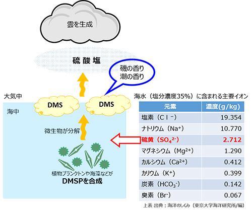 図1.海藻や植物プランクトンが硫酸イオンを取り込んで生成したDMSPを微生物が分解する際、硫化ジメチル(DMS)が発生。大気中に移行後、酸化されて硫酸塩になり、これを凝結核として雲が生成される 図は筆者作成。ただし図中の主要イオンの成分表は、東京大学海洋研究所編「海洋のしくみ」より引用