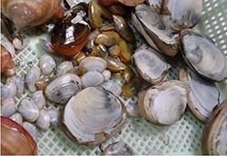 図3 チャクチ海の海底から採取した貝。(川合さん提供)